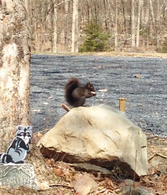 Black Squirrel cute